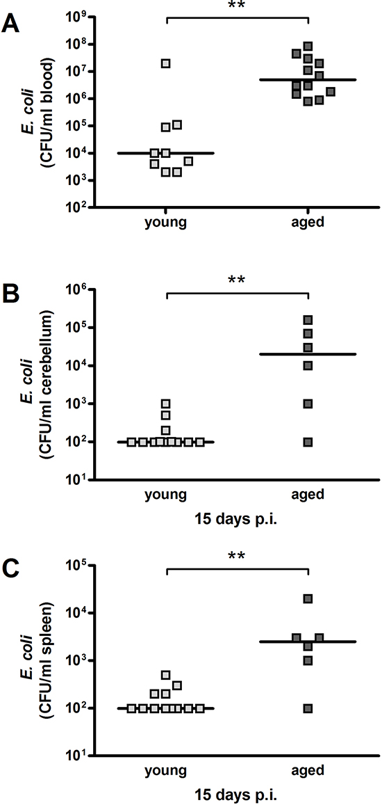 Bacterial concentrations in blood, cerebellum and spleen after intracerebral infection with E. coli K1 (105 CFU/ml) in young and aged mice.