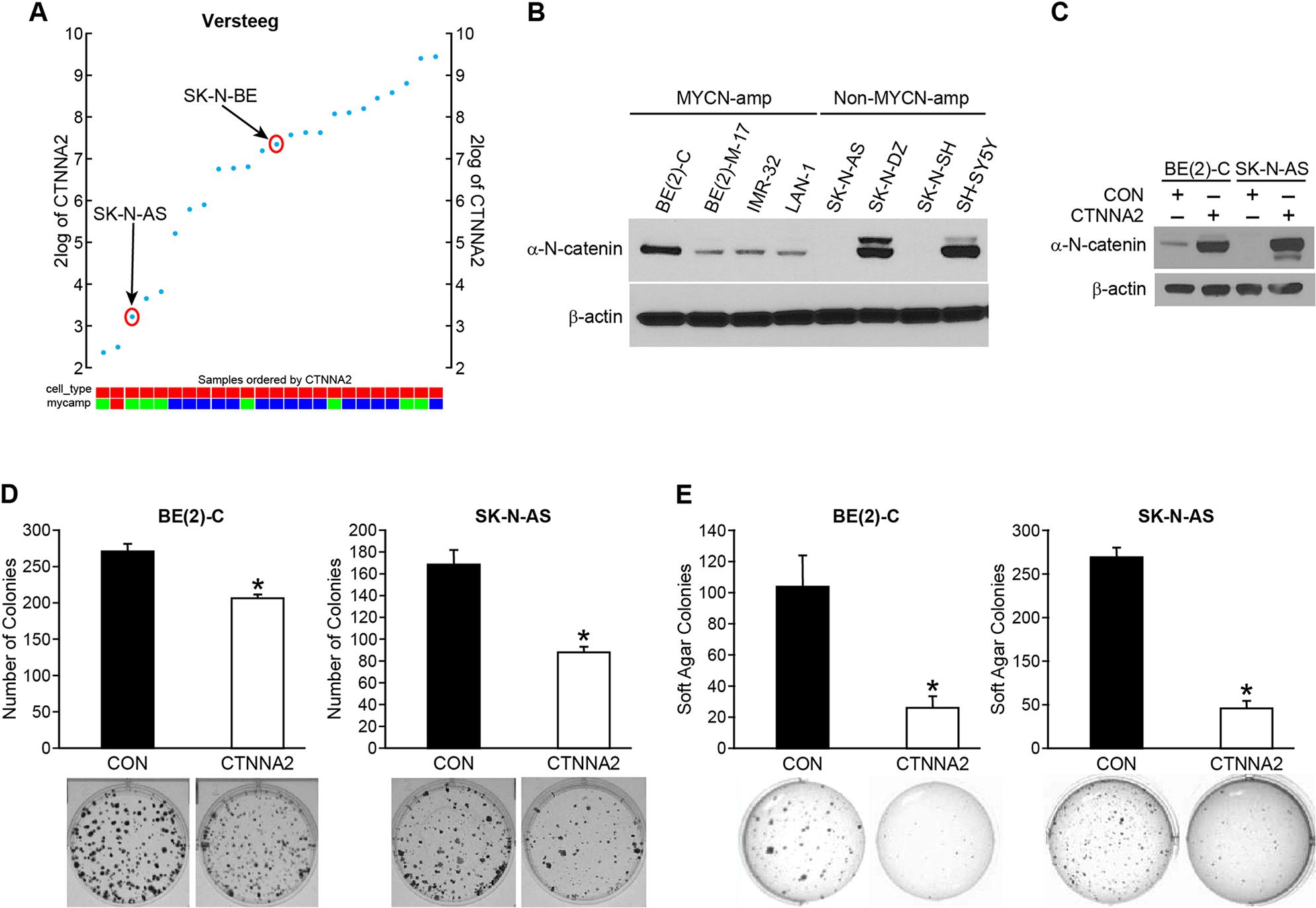 α-N-catenin inhibits colony formation and anchorage-independent growth of human neuroblastoma cells.