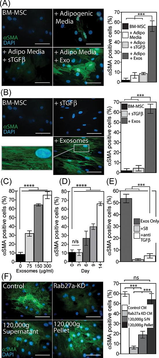Exosomes drive differentiation of BM-MSC to a myofibroblast-like phenotype.