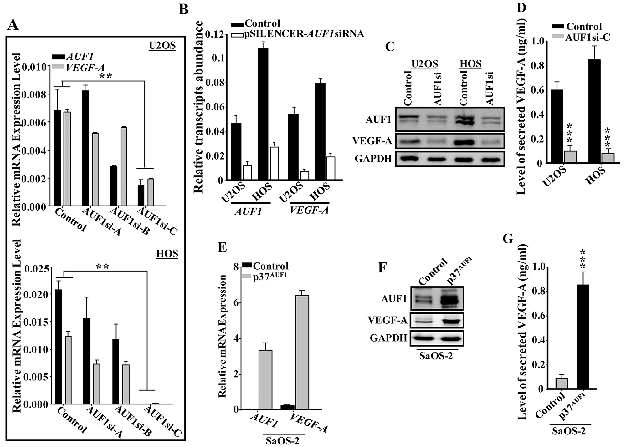 AUF1 positively controls the expression of VEGF-A.