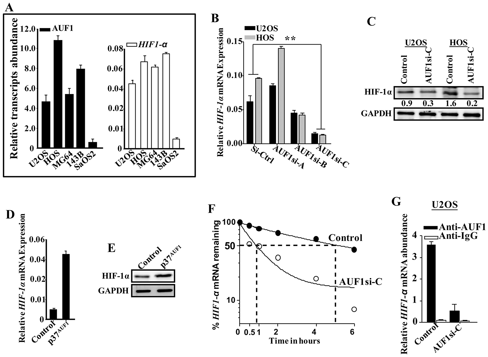 AUF1 stabilizes the HIF-1α mRNA.