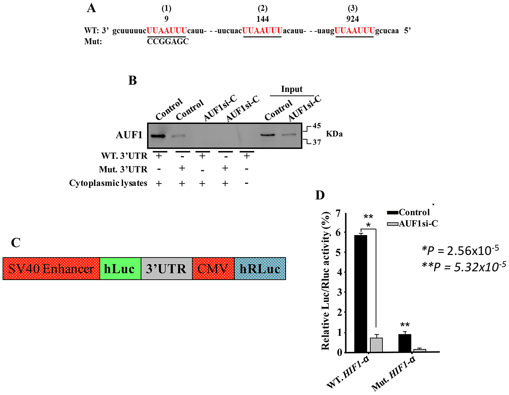 AUF1 binds to the HIF-1α 3'UTR.