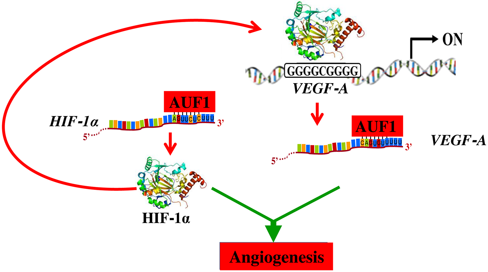 Schematic representation of the role of AUF1 in the stabilization of the VEGF-A and HIF-1alpha mRNAs and implication in angiogenesis.