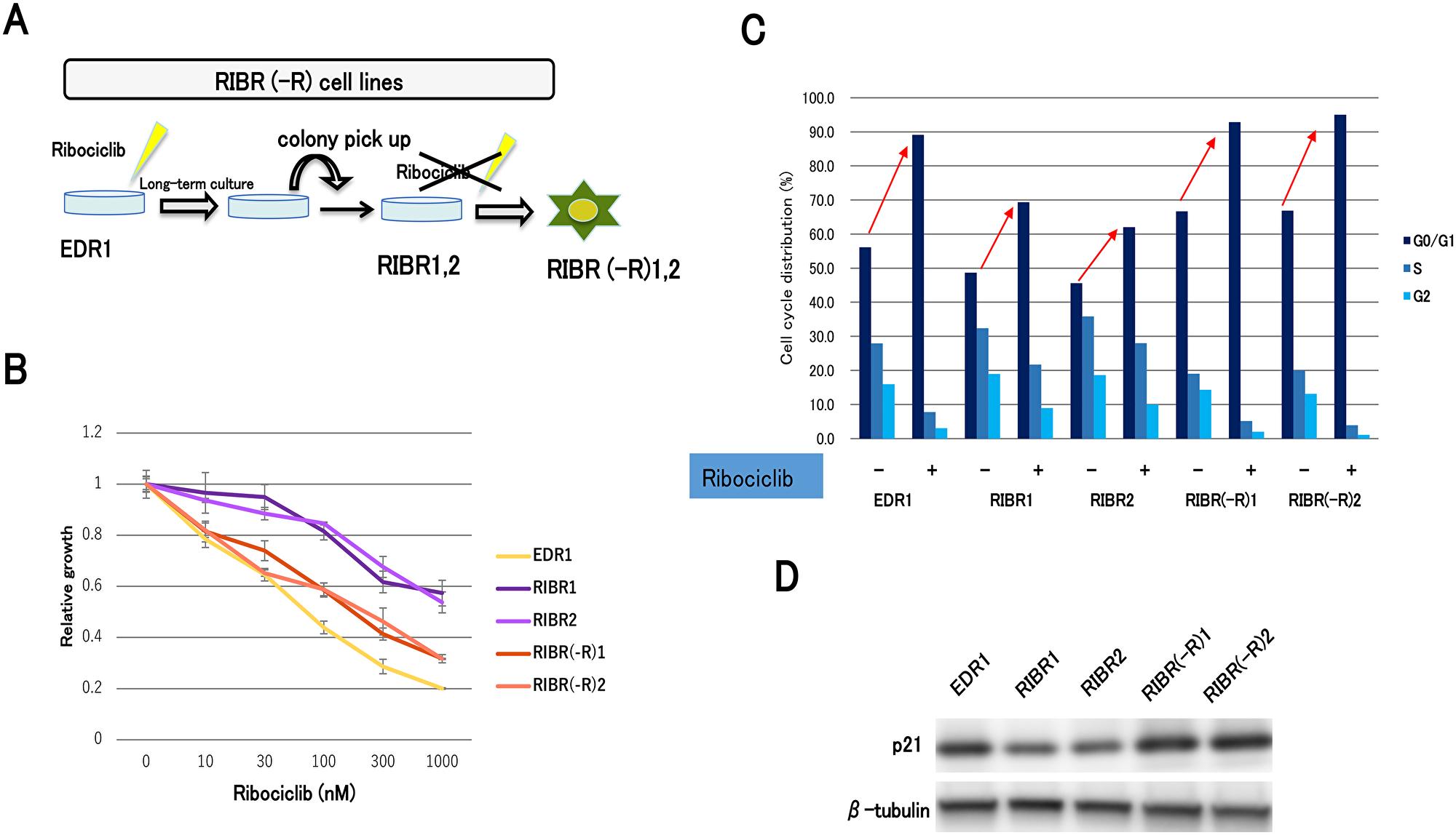 Establishment of ribociclib-resistant cell lines with long-term ribociclib depletion (RIBR(-R)).