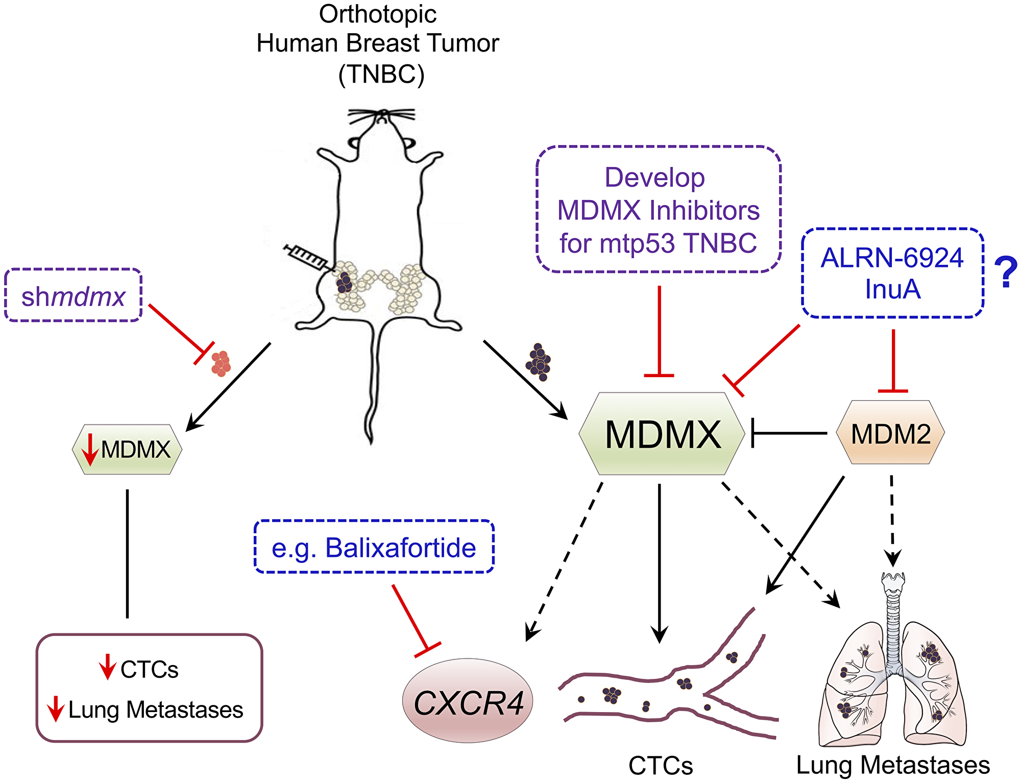 Schematic of MDMX promoting TNBC metastasis and proposed targeting strategies.