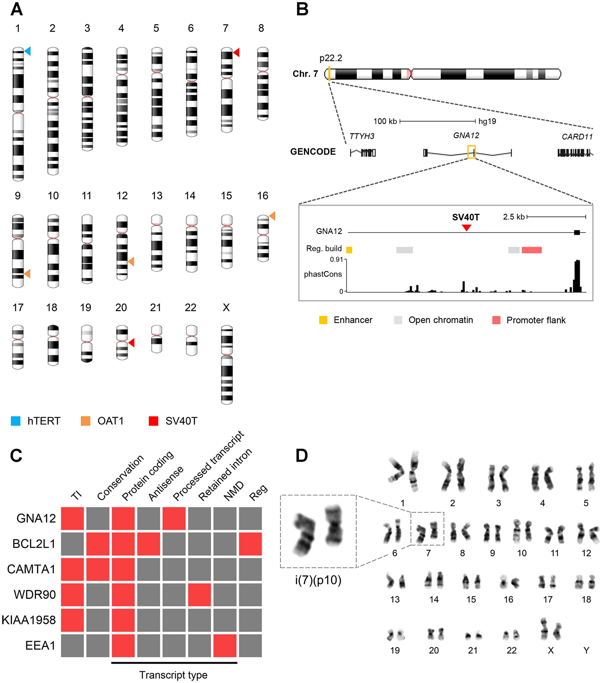 Viral integration sites and chromosomal stability.