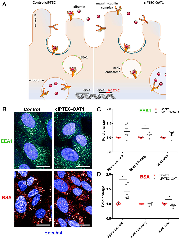 Endocytotic capacity of ciPTEC-OAT1.