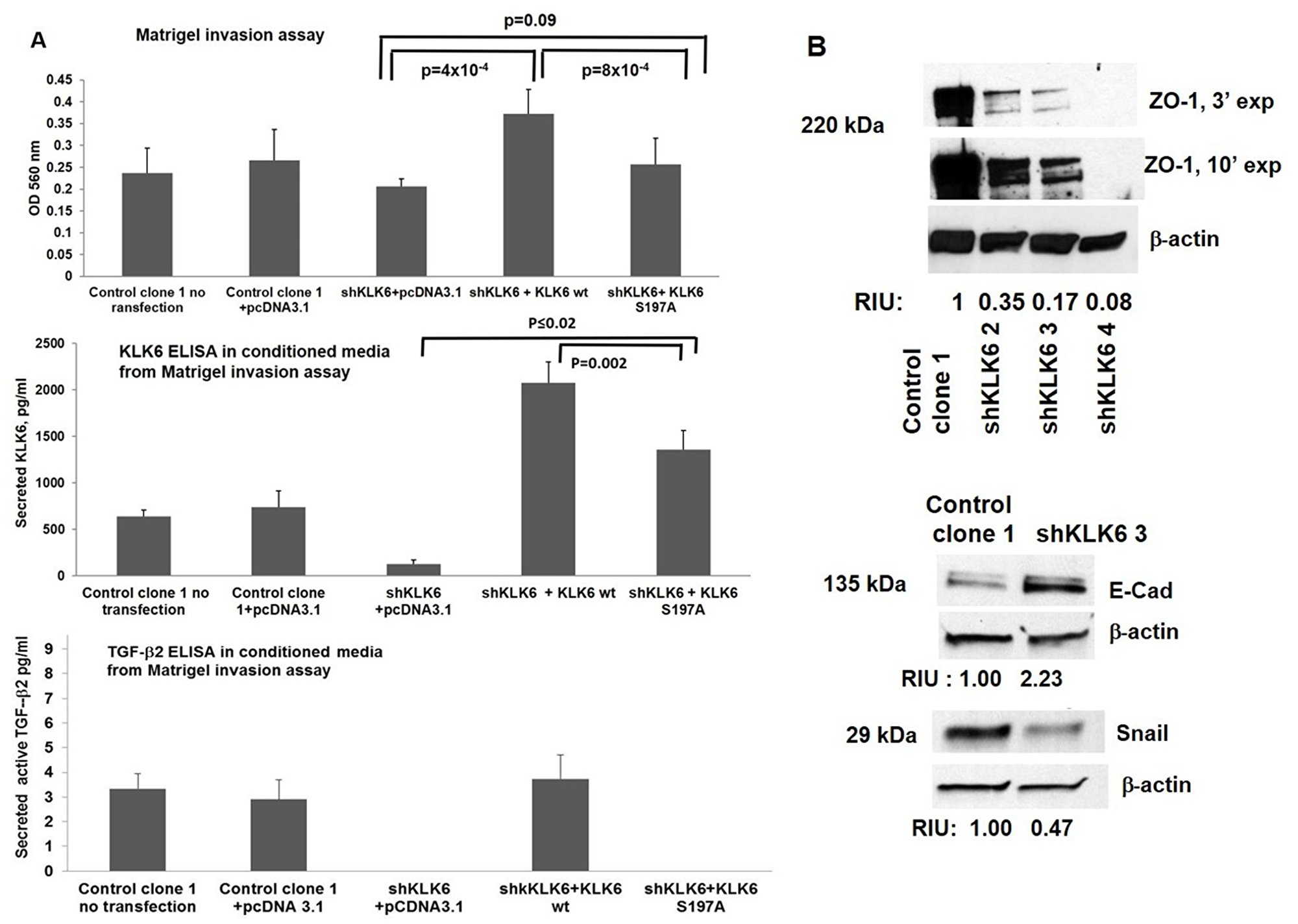 KLK6 enzyme contributes to cell invasion in HCT116-shKLK6 model through induction of the EMT.