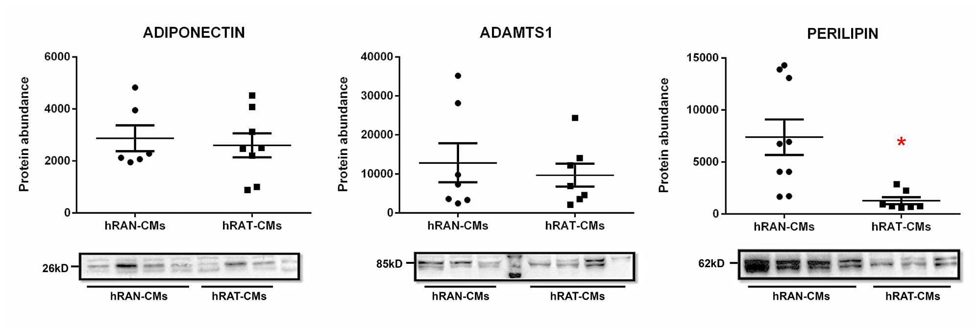 Adiponectin, ADAMTS1 and perilipin 1 in hRAN- and hRAT-CMs.