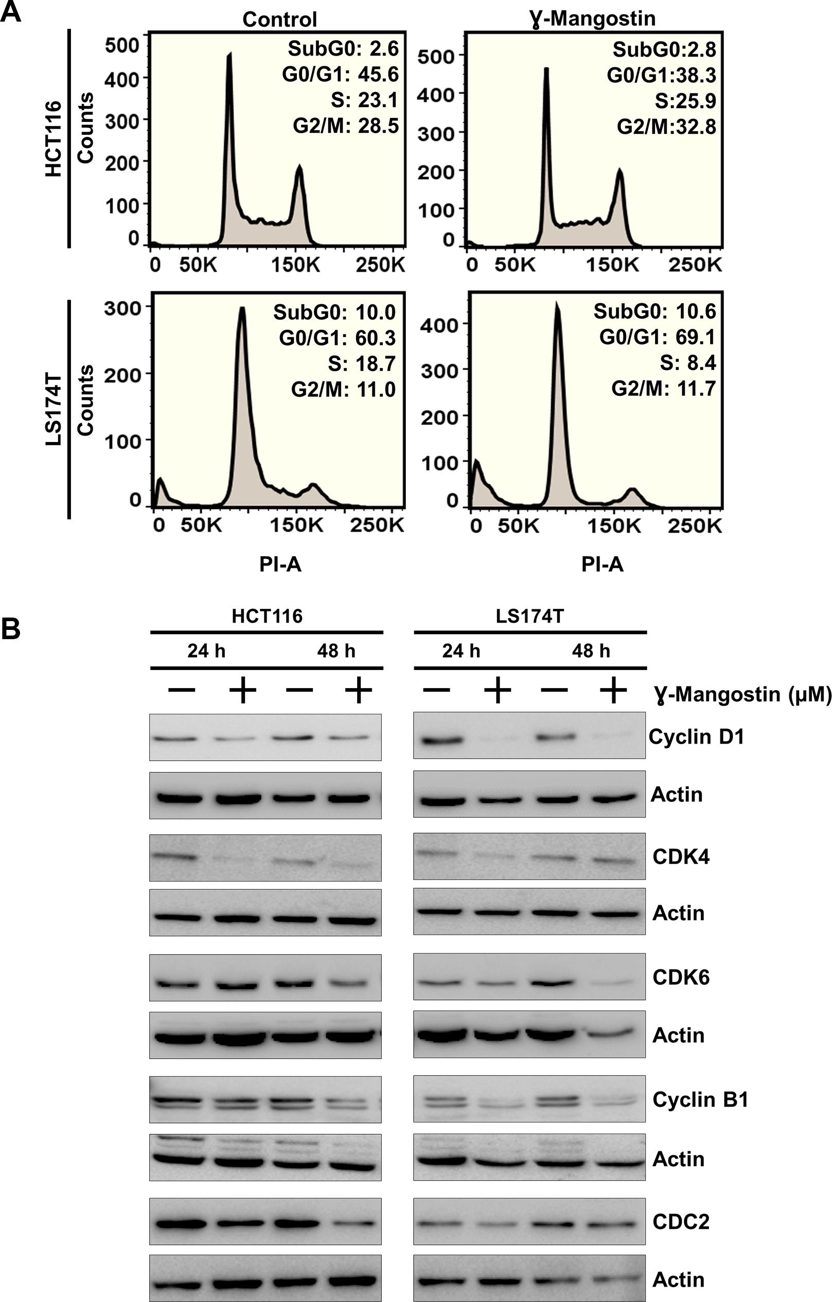 γ-Mangostin inhibits cell cycle progression.