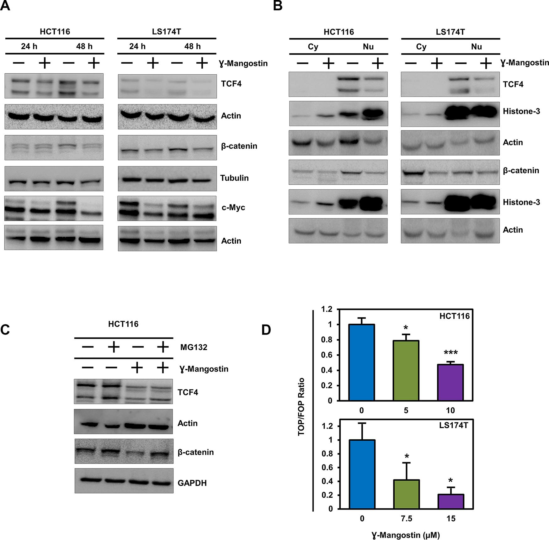 γ-Mangostin inhibits TCF4 expression.