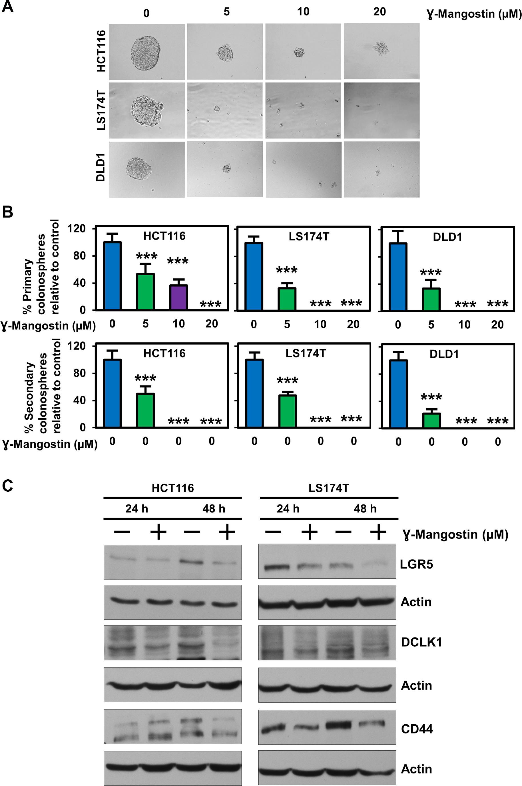 γ-Mangostin inhibits colonosphere formation and stem cell marker expression.