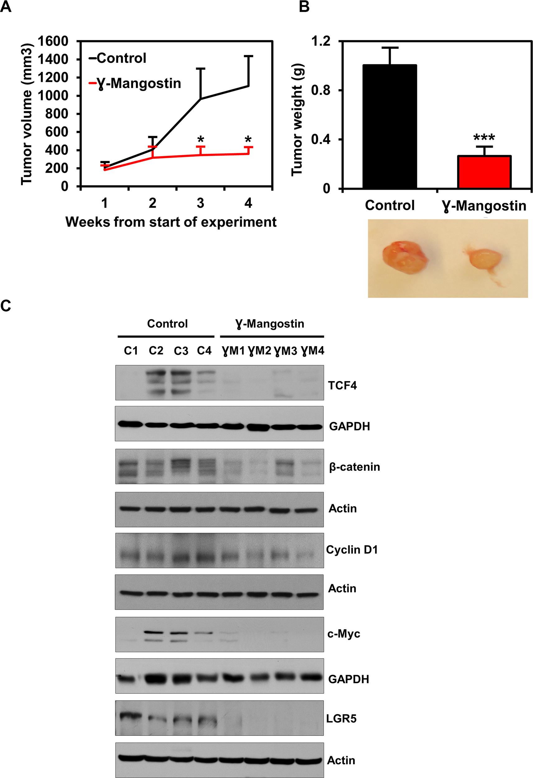 γ-Mangostin inhibits tumor xenograft growth.