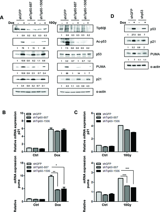Tip60 is required for acetylation of p53 at K120 and induction of PUMA expression, but not for induction of p21WAF1, in response to DNA damage.