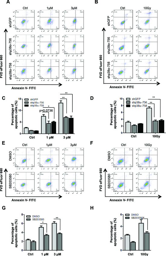 p38α is required for apoptosis induction in response to DNA damage.
