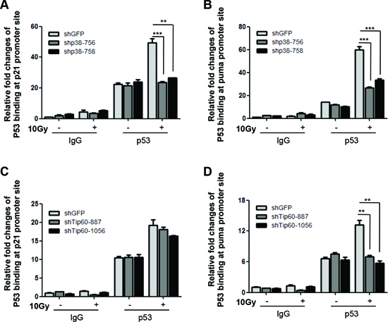 p38α and Tip60 are essential for DNA damage-induced binding of p53 to the PUMA promoter.