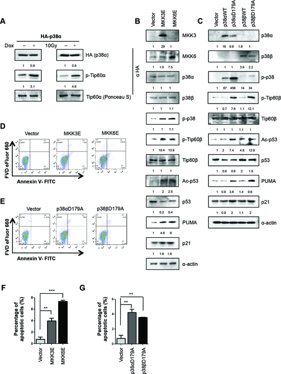 Activated p38α directly phosphorylates Tip60-T158 in vitro and induces Tip60-T158 phosphorylation, p53-K120 acetylation, PUMA expression and apoptosis in cells.
