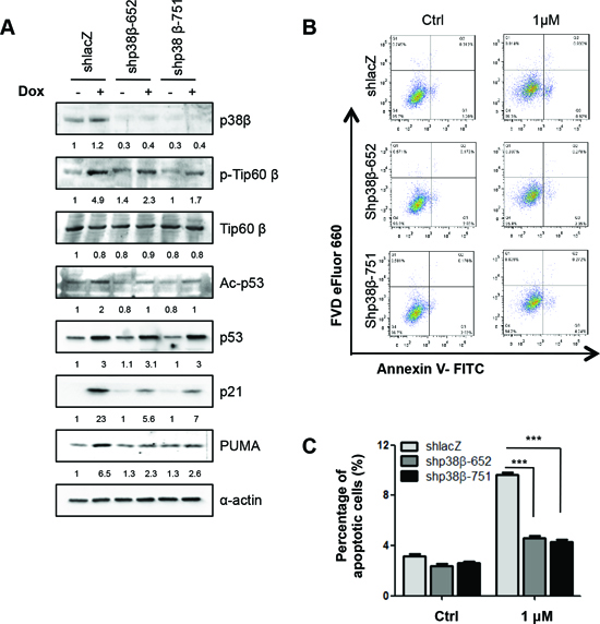 p38β is also essential for Tip60-T158 phosphorylation, p53-K120 acetylation, PUMA expression and apoptosis in response to DNA damage.