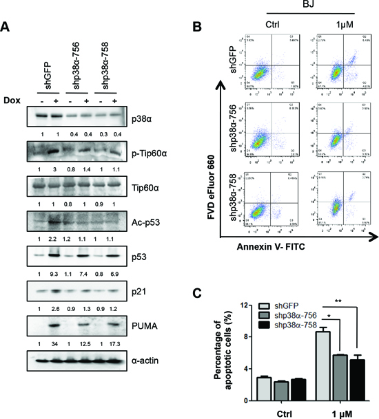 p38α is essential for DNA damage-induced Tip60-T158 phosphorylation, p53-K120 acetylation, PUMA expression and apoptosis in primary human fibroblasts.