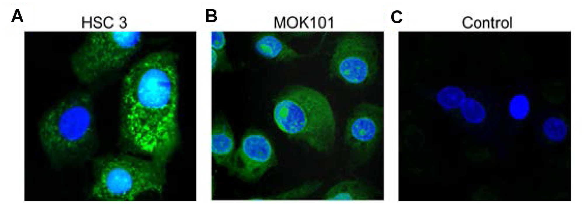 Confocal images of LLY13 peptide-dye conjugates taken up by live cells in culture.