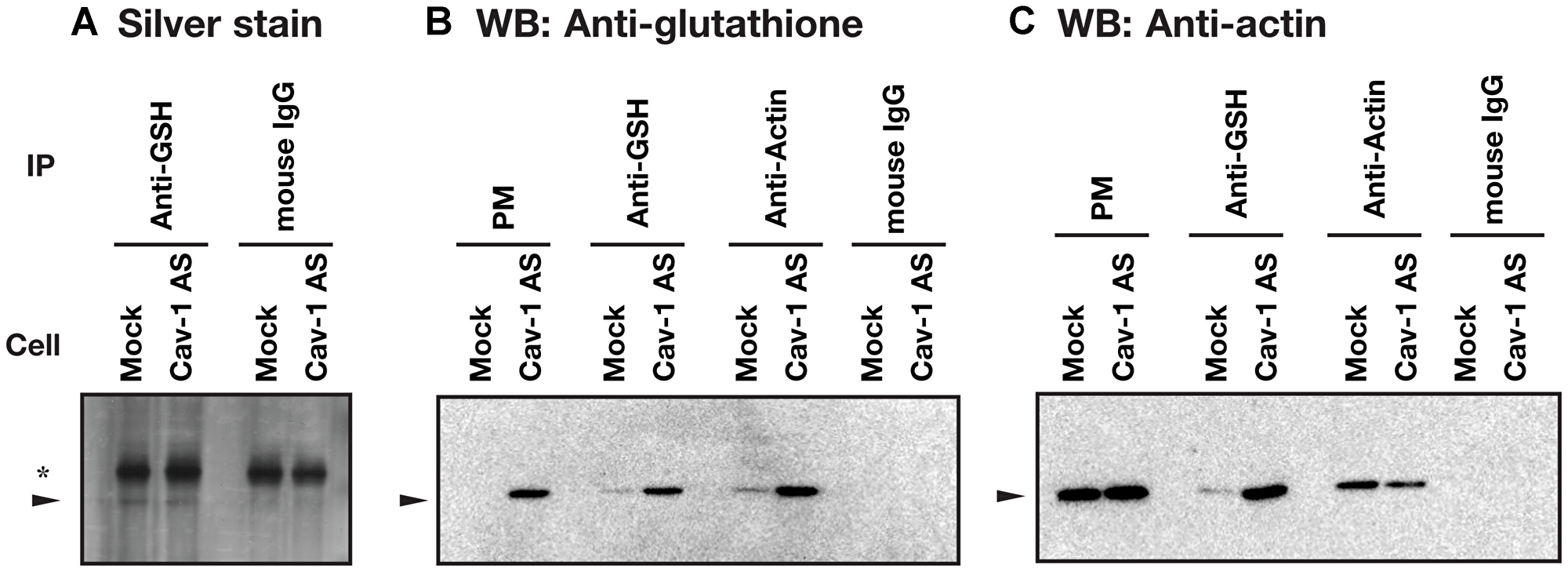 Identification of actin as a S-glutathionylated protein.