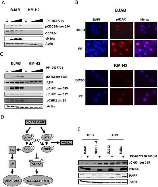 PF-0477736 inhibits CDC25c phosphorylation and determines DNA damage accumulation in DLBCL cells.
