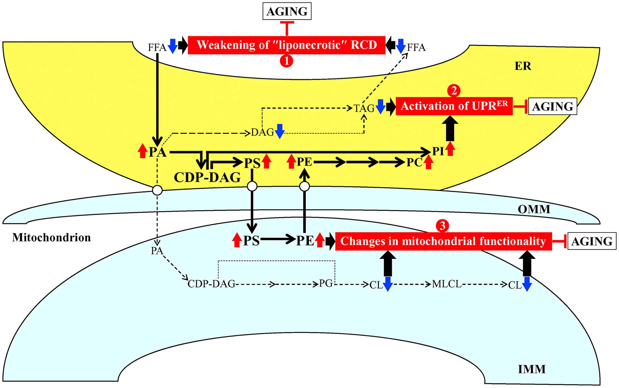Possible mechanisms through which PE21 may delay yeast chronological aging.