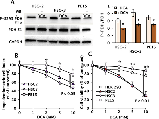 Effect of DCA on phosphorylation of the PDH-E1α subunit and cell growth and viability in OSCC.