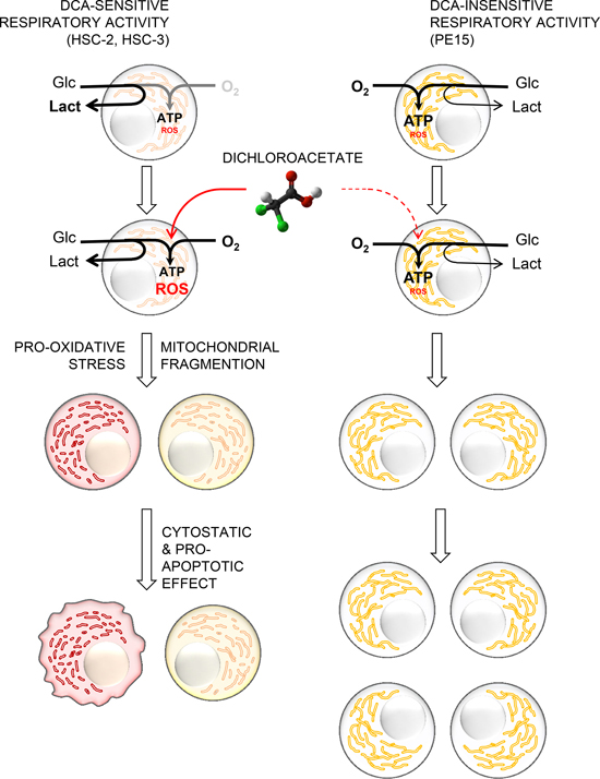 Proposed mechanism of the differential effect of DCA on OSCC-derived cell lines.