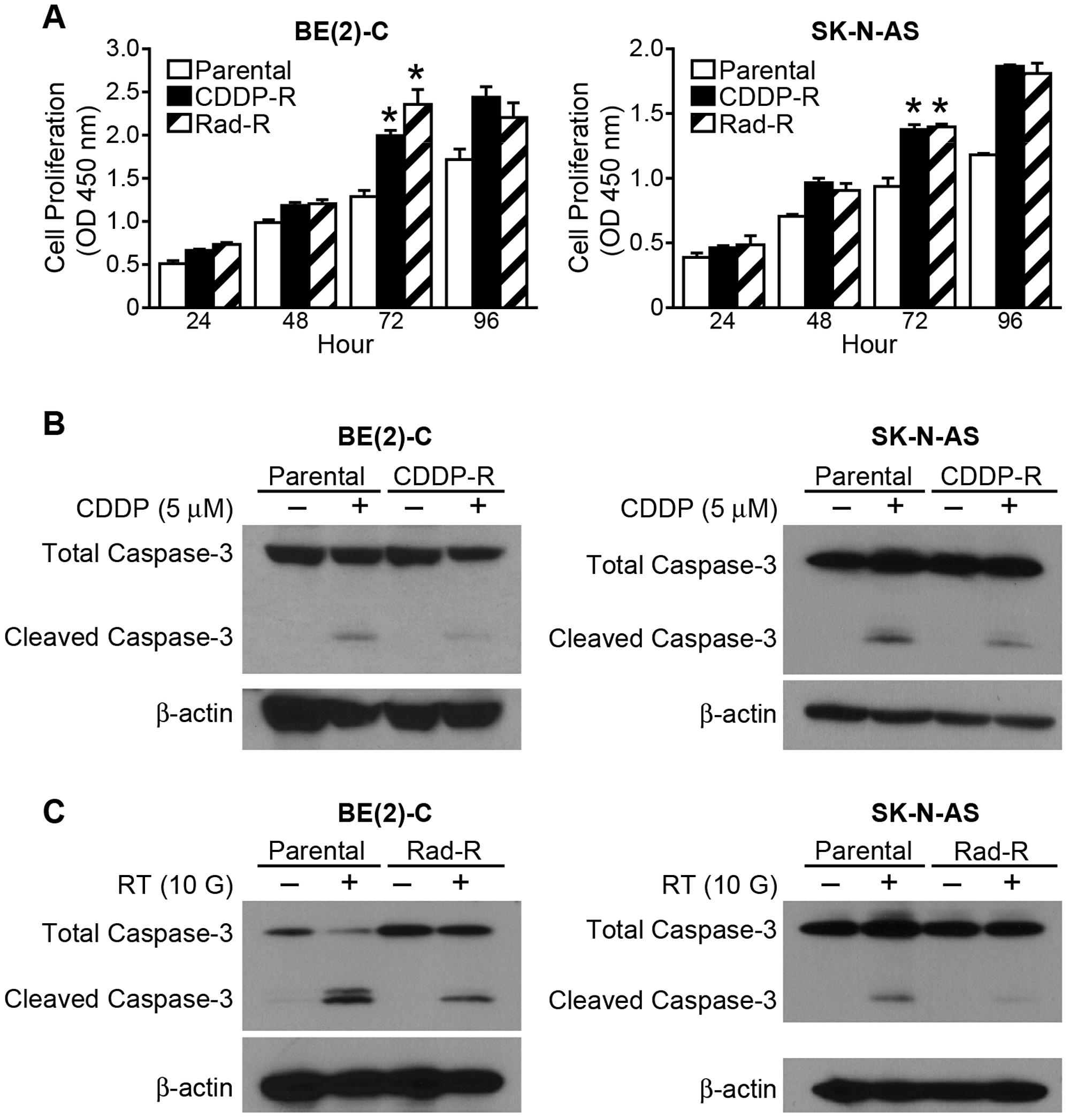 CDDP-R/Rad-R human neuroblastoma cells increase proliferation and inhibit programmed cell death.