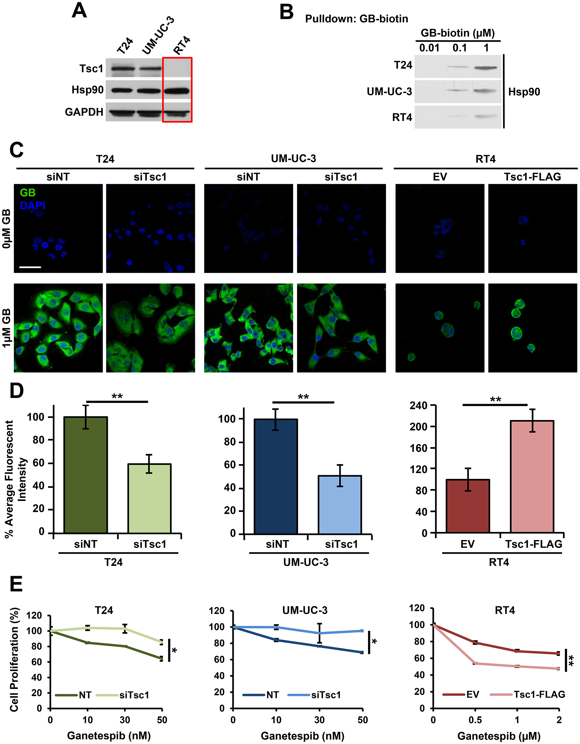 Tsc1 expression determines Hsp90 inhibitor accumulation and sensitivity in bladder cancer cells.