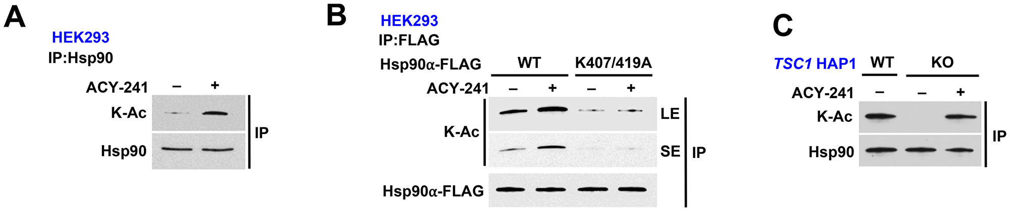 HDAC inhibition rescues Hsp90 acetylation in TSC1-knock out cells.
