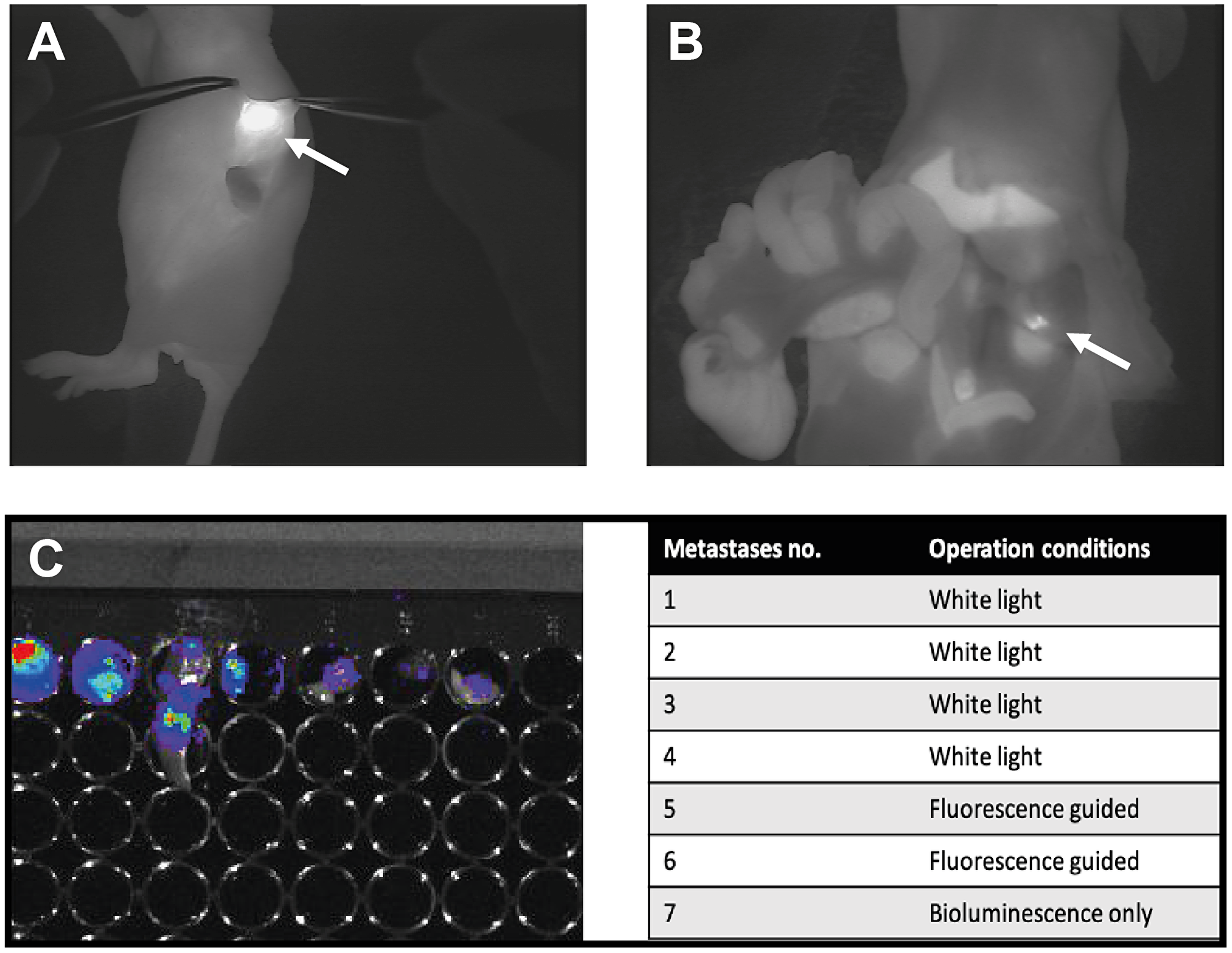 Presentation of one of the mice enrolled in the study part II where comparison of white light surgery and fluorescent guided surgery was the aim.