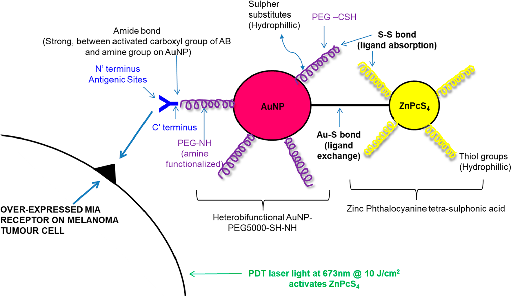 Theorized active targeted final PS molecular drug conjugate ZnPcS4 – AuNP-PEG5000-SH-NH2 – Anti-MIA Ab structure and bond formation.