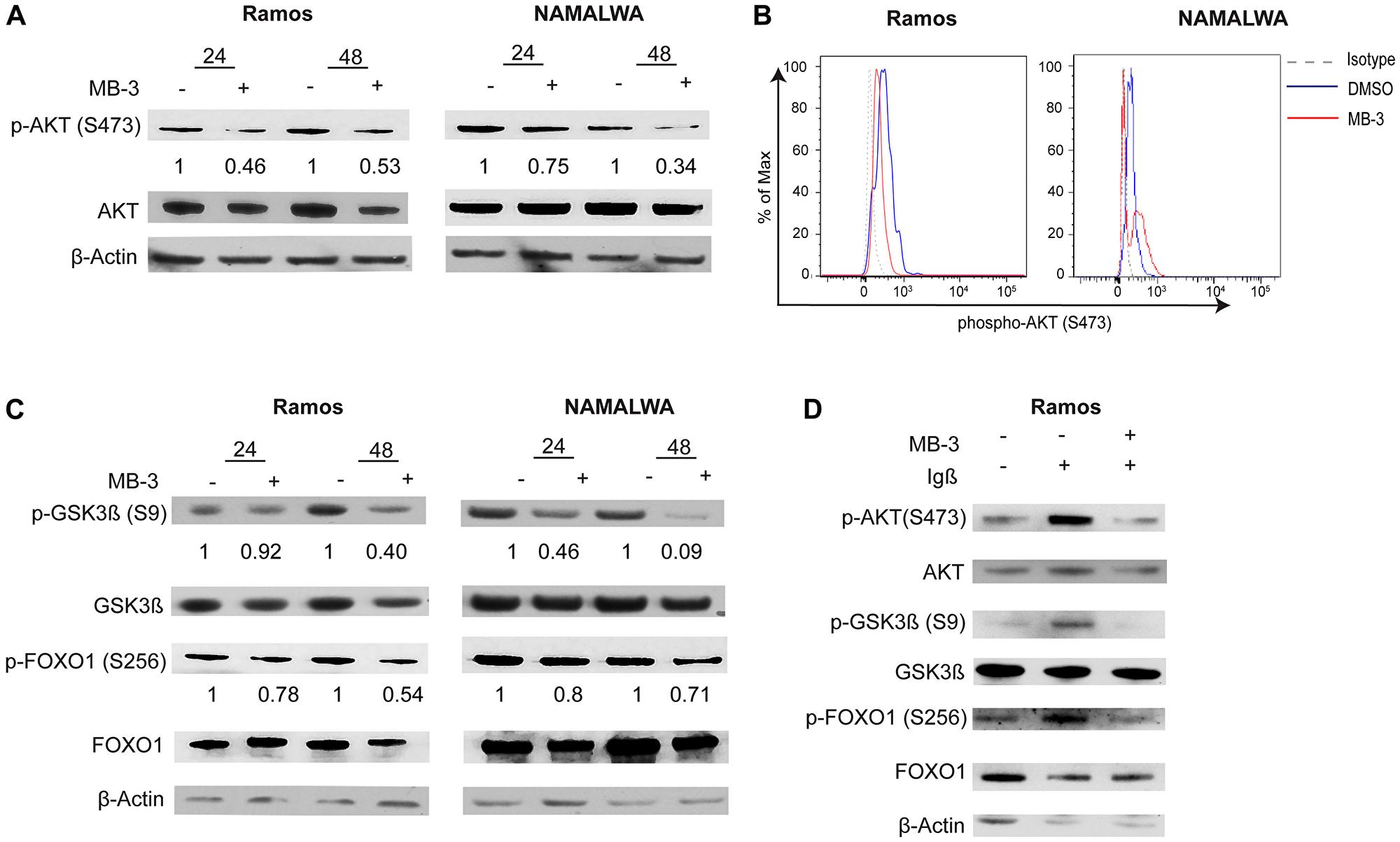 GCN5 inhibition attenuates PI3K signaling in human Burkitt lymphoma cell lines.