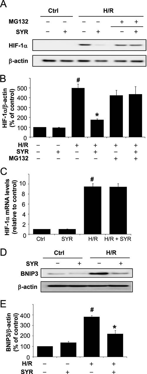 Syringaresinol promotes the degradation of HIF-1 and blocks the upregulation of a HIF-1α target gene, Bnip3 during H/R.