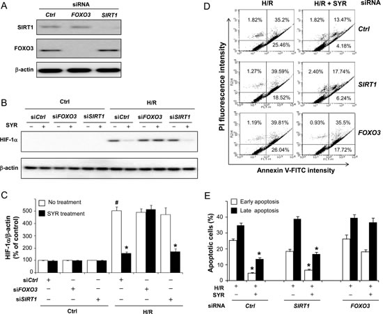 Syringaresinol-induced destabilization of HIF-1α and protection against cell death is mediated by FOXO3.