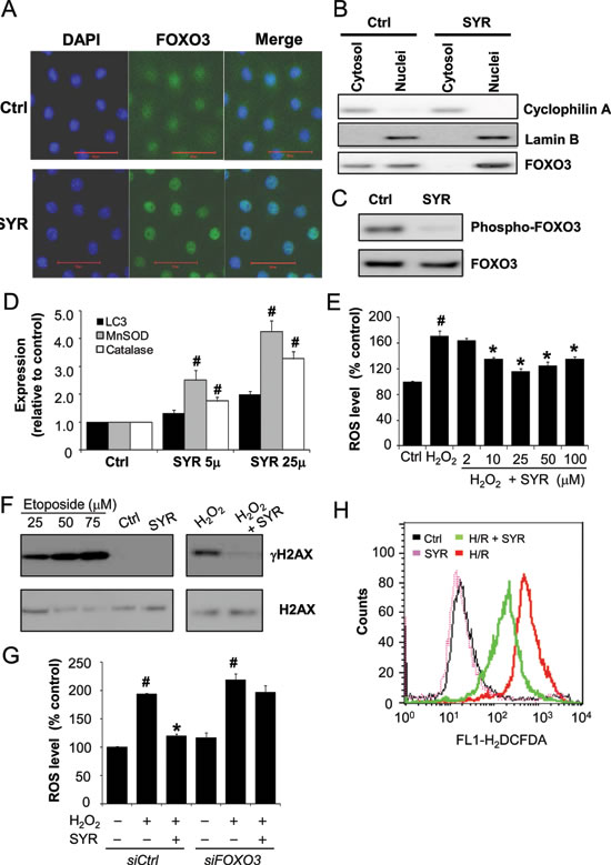 Syringaresinol induces FOXO3 nuclear accumulation, upregulation of FOXO3 target genes expression, and decreased production of ROS.