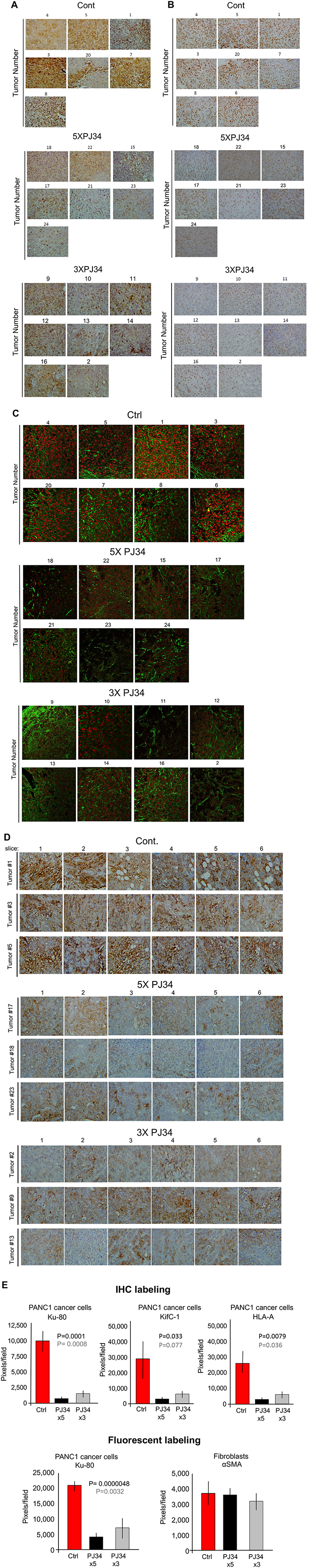A massive reduction of human proteins in PANC1 xenografts in response to treatment with PJ34.