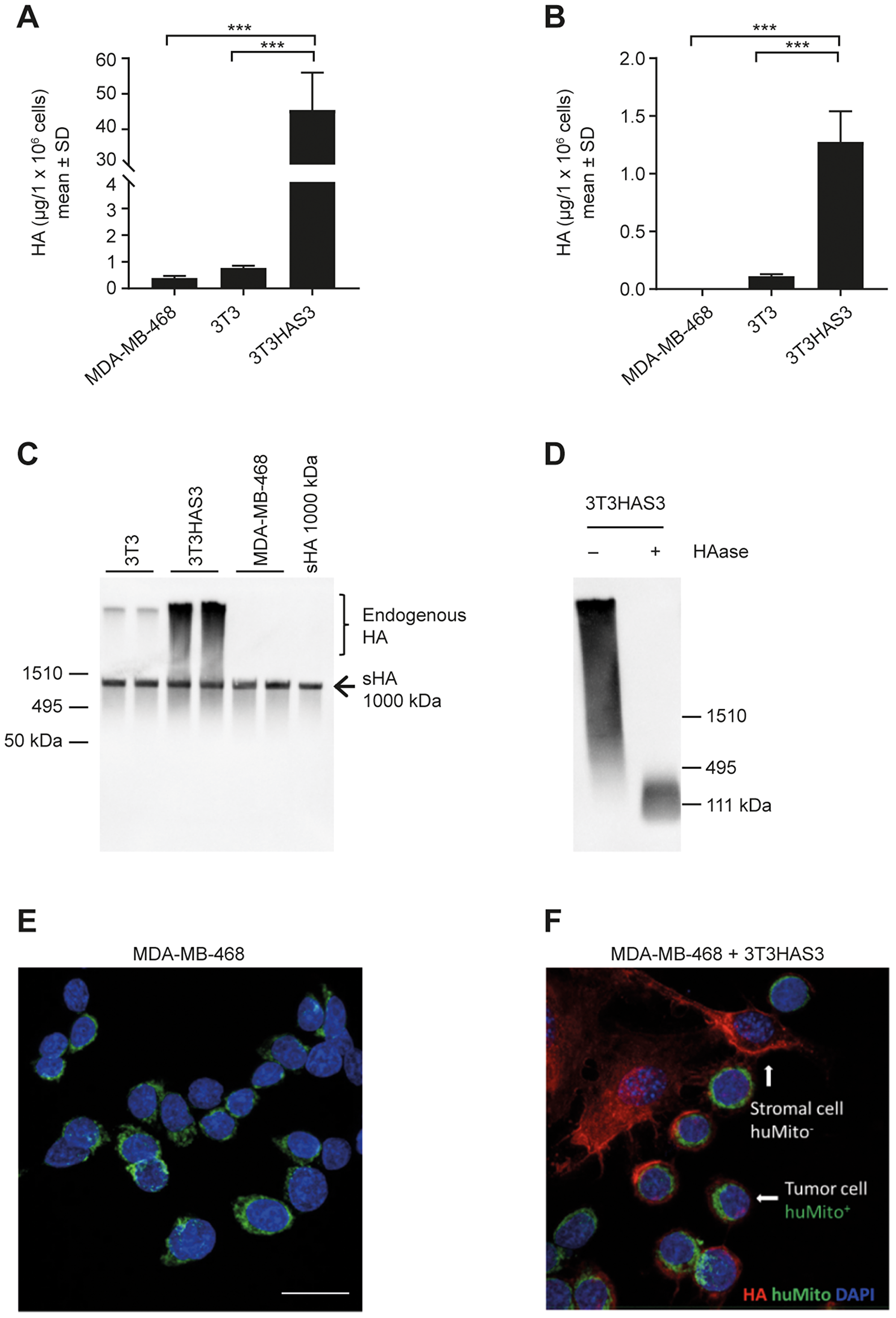 Engineered HA-accumulating fibroblast cells synthesized HMW HA that bound to MDA-MB-468 breast cancer cells in culture.