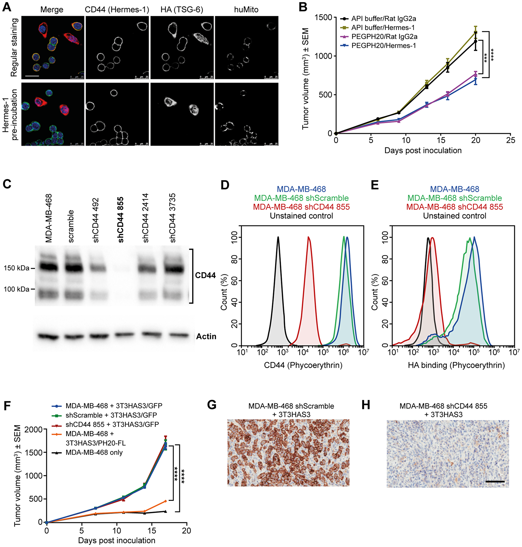 Tumor growth in the breast cancer co-graft model with HA-accumulating stroma was independent of CD44 expression in MDA-MB-468 tumor cells.