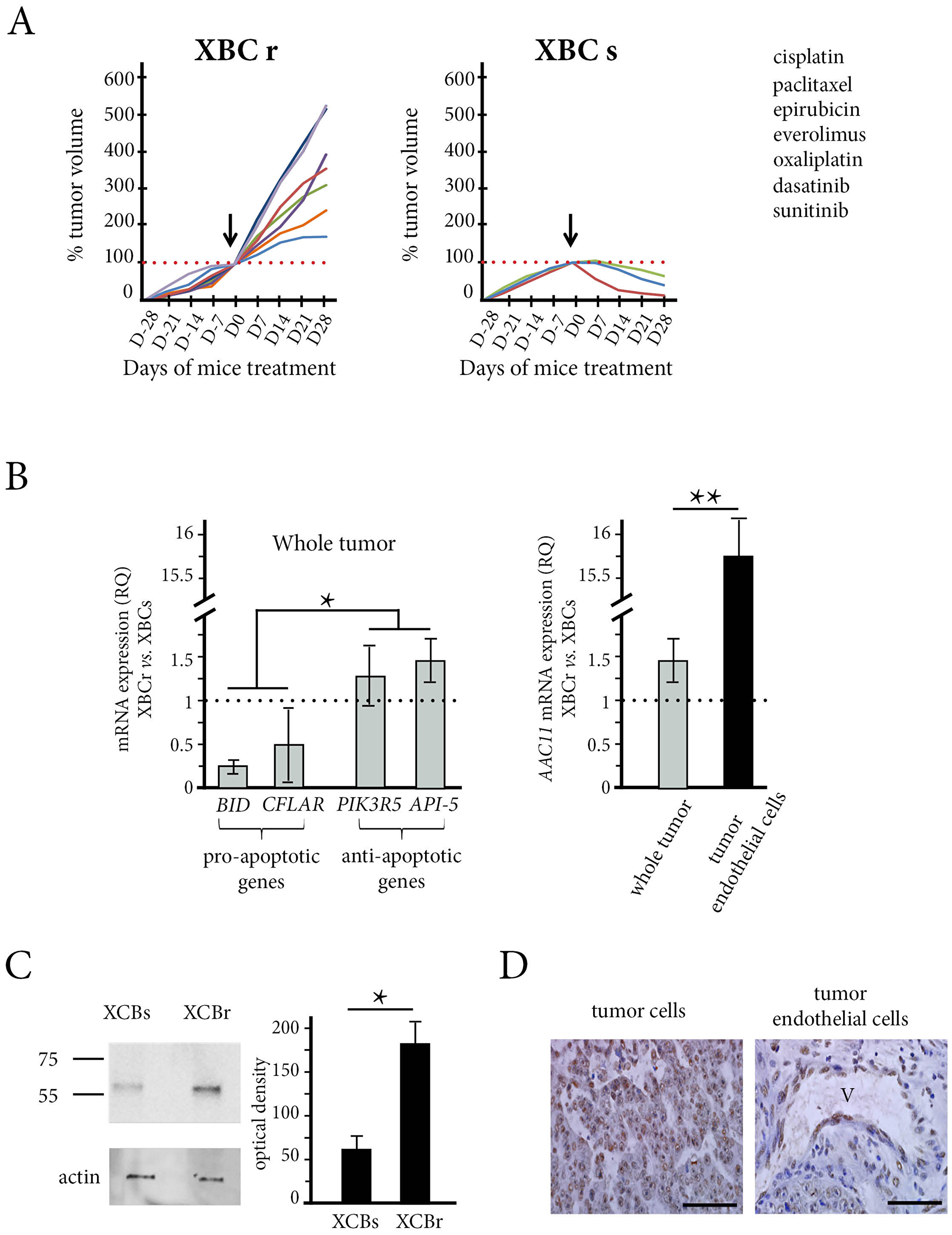 The in vivo effect of chemotherapy and API-5 expression in the patient xenograft model obtained from resistant tumors (XBC-R right panel) and sensitive tumors (XBC-S, left panel).