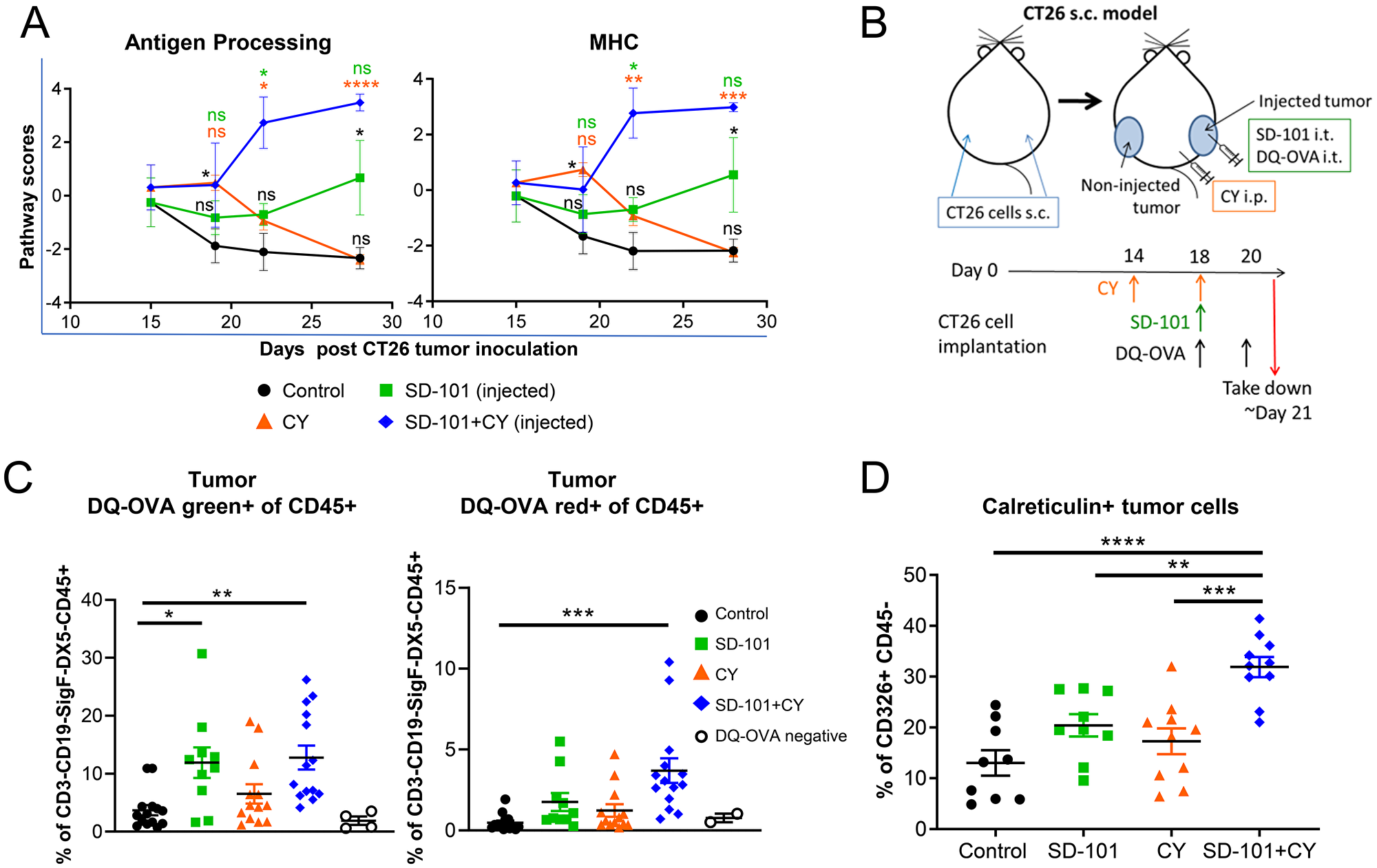 SD-101 and low-dose CY combination increases immunogenic cell death and APC function within the tumor.