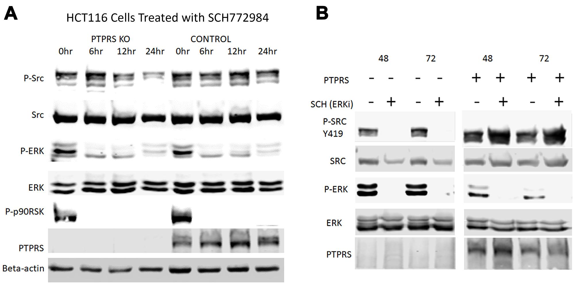 SRC activation in response to ERK inhibition is PTPRS dependent.