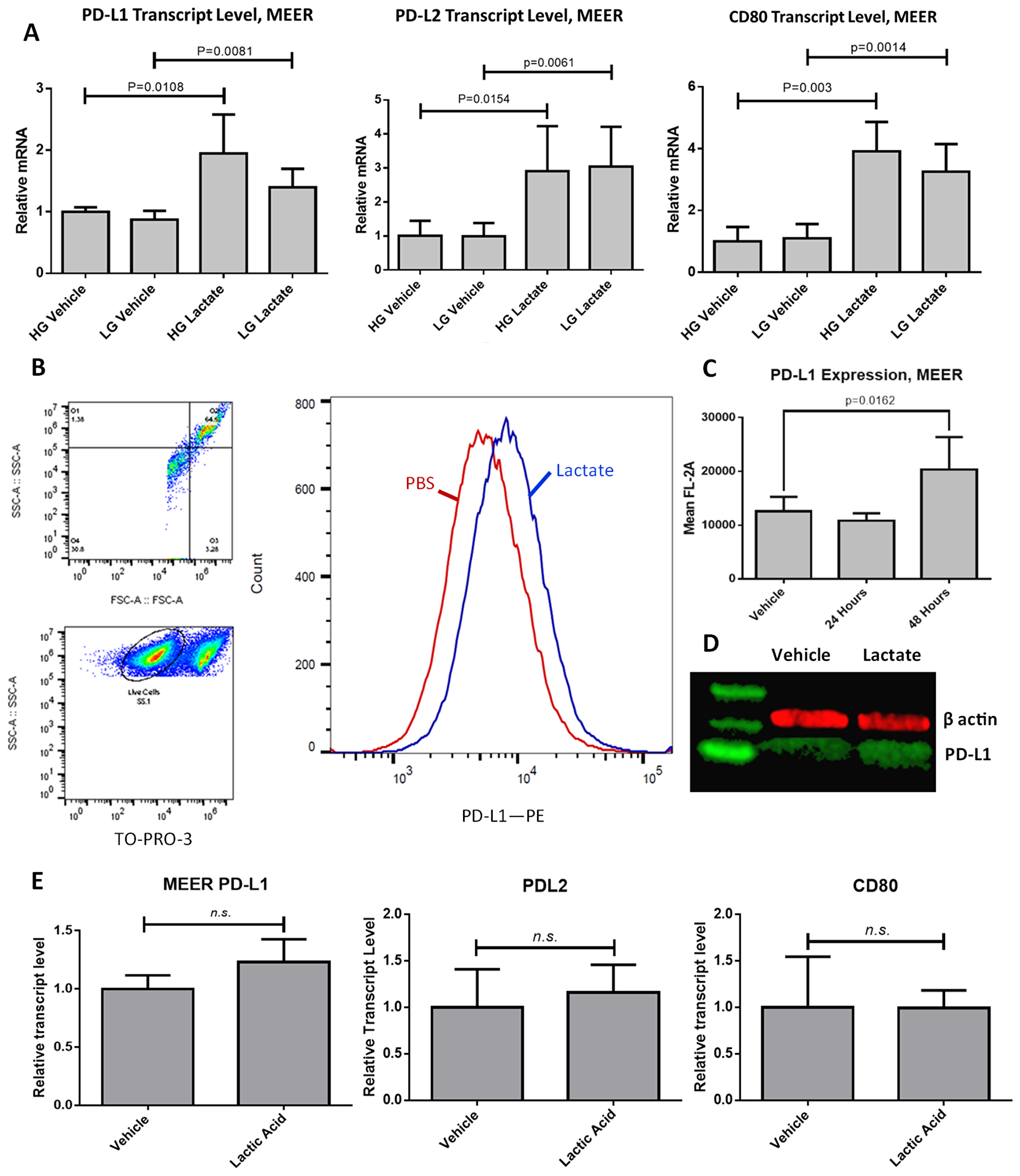 PD-L1 is upregulated in response to lactate exposure in MEER cells.