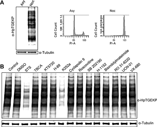 K252a can inhibit linker phosphorylation in mitotic HeLa cells.