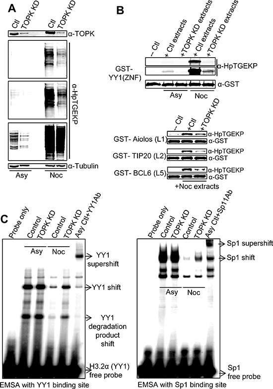 TOPK knockdown results in significant reduction of linker phosphorylation in vivo.