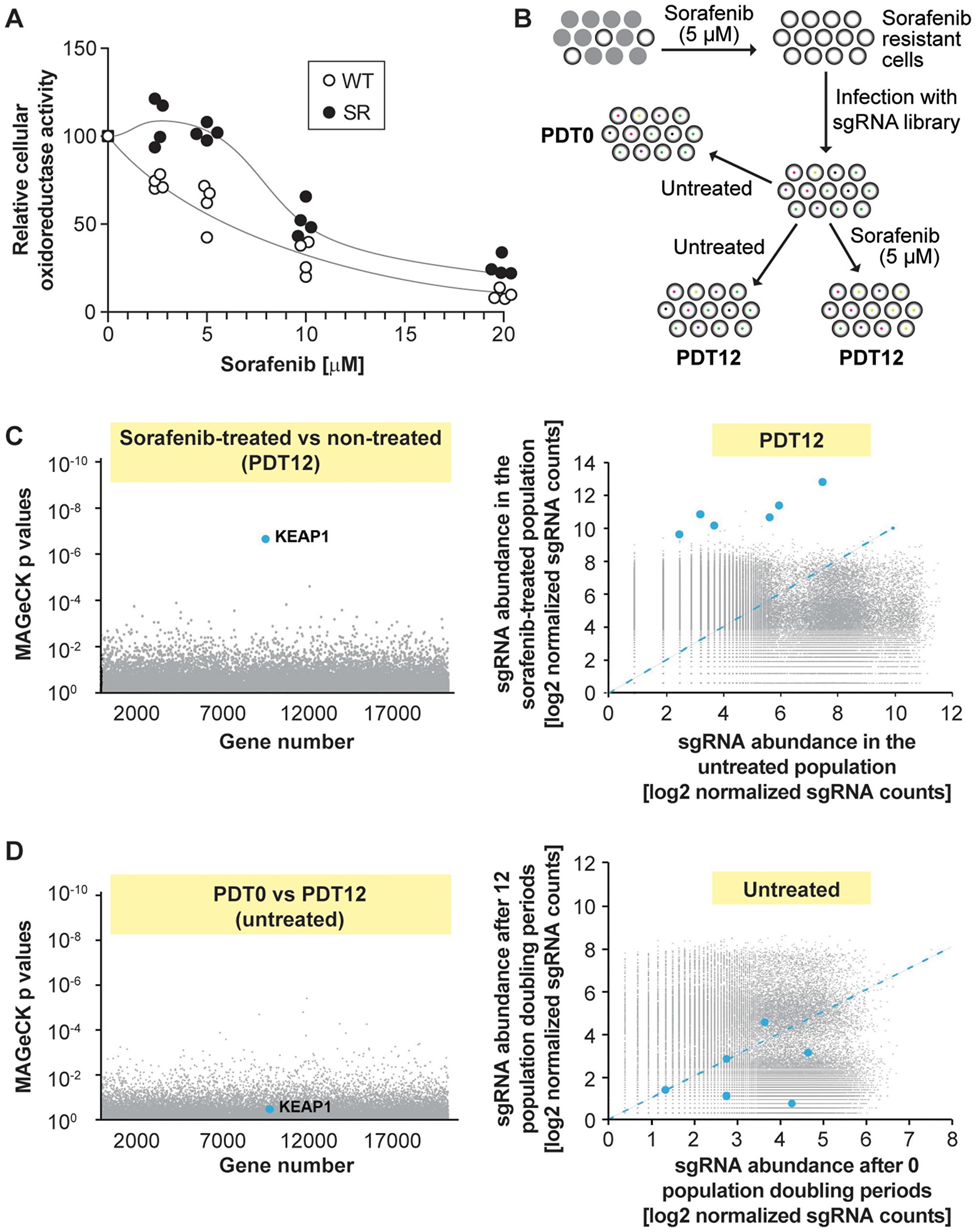 Single guide RNAs targeting KEAP1 are enriched in sorafenib-treated HUH-7 cells.