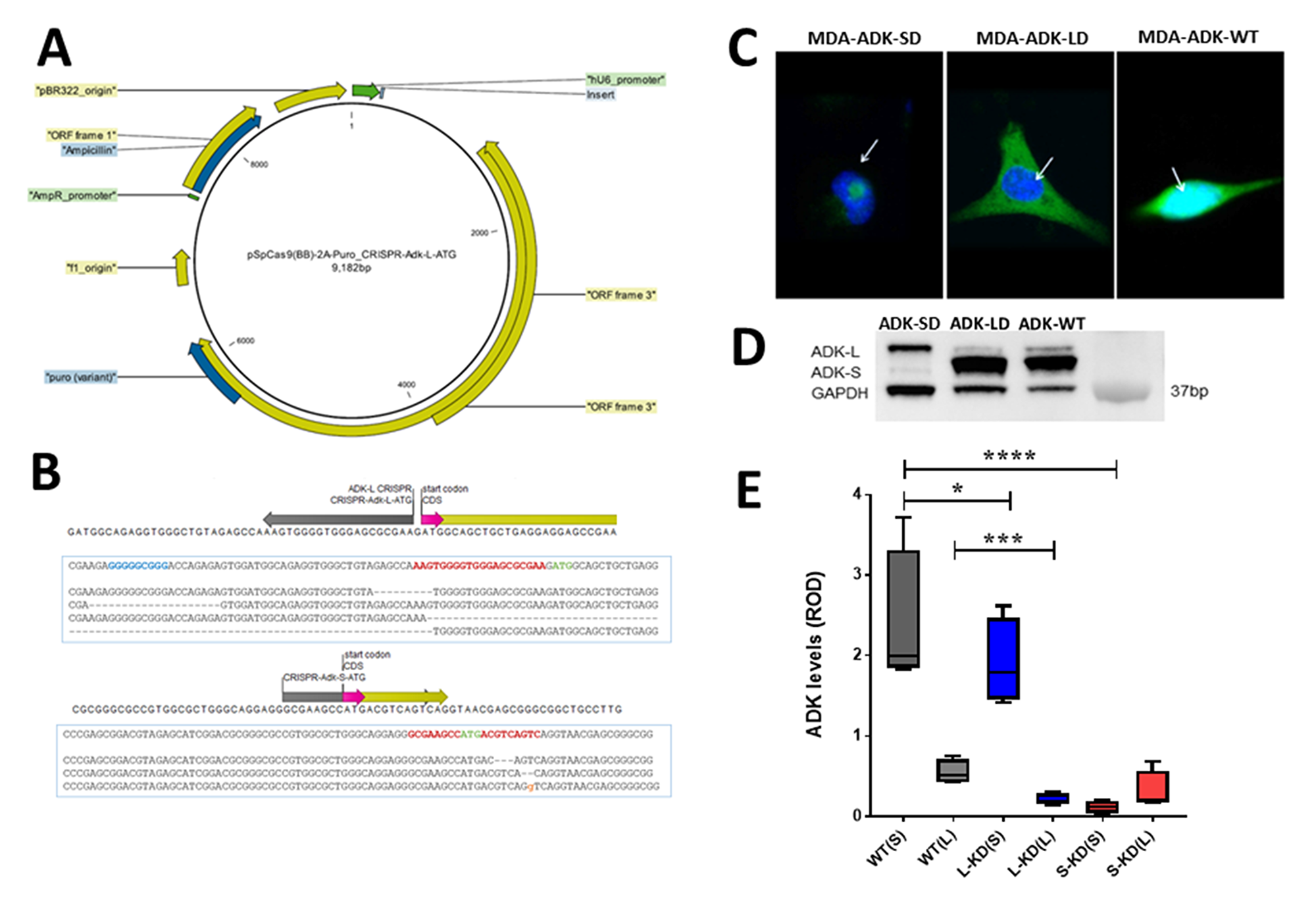 CRISPR/Cas9 manipulation of ADK isoforms in breast cancer cells.