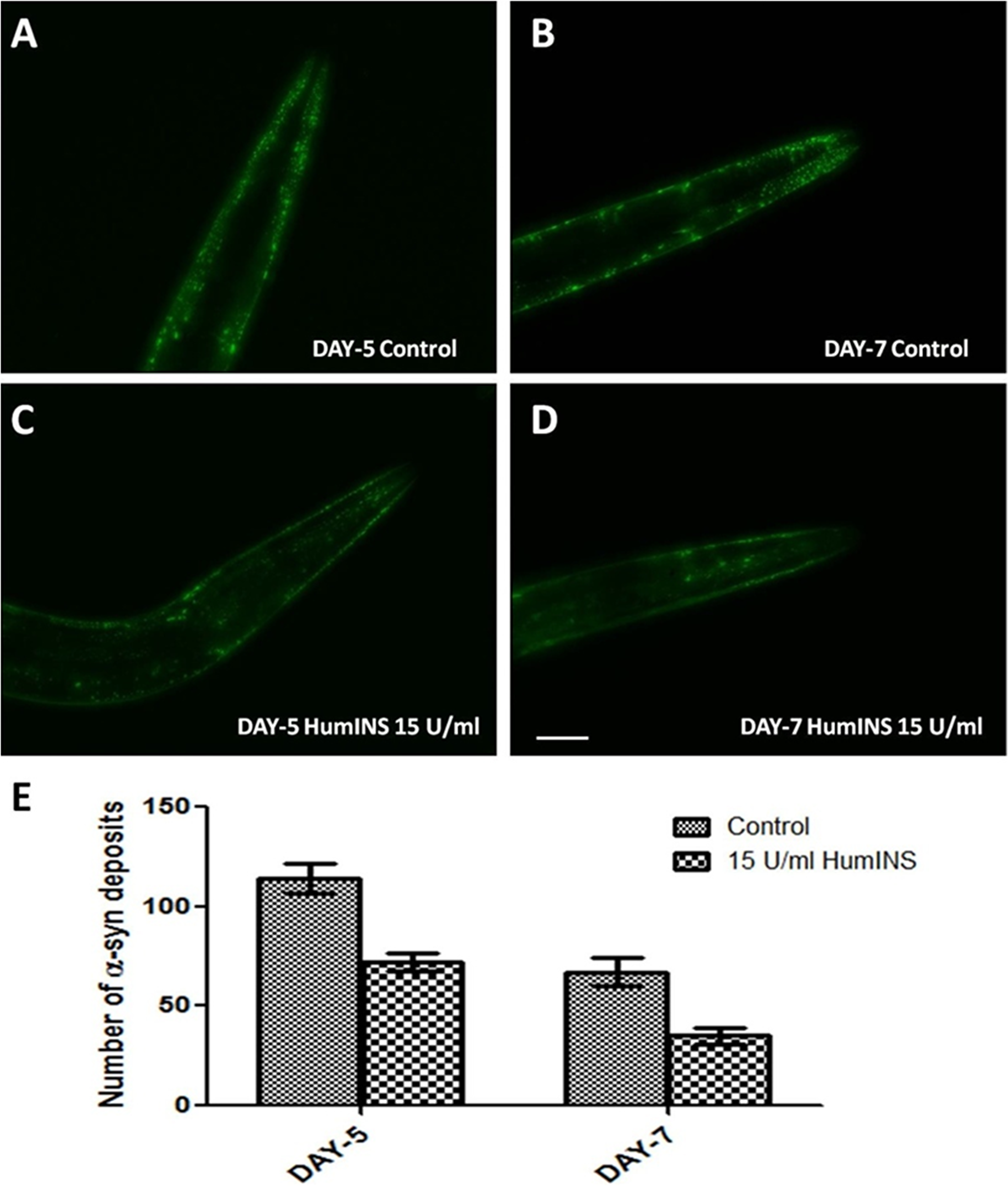 HumINS decreases aging-dependent aggregate accumulation.